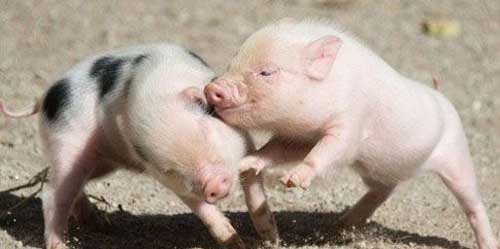 可爱的小猪仔